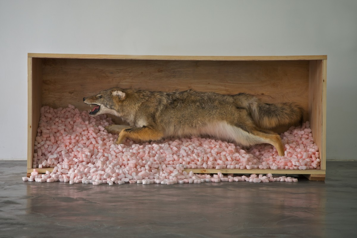 Crate and Coyote: Wood crate, coyote, pink packing peanuts, 19 x 65 x 27.5 inches, 2013